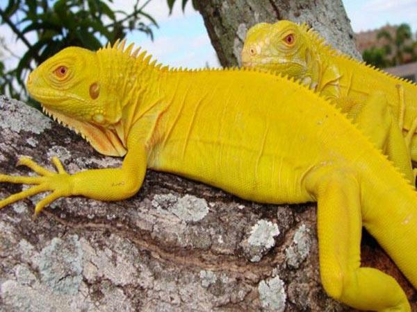 Rồng Nam Mỹ bạch tạng vàng ( Albino Iguana )