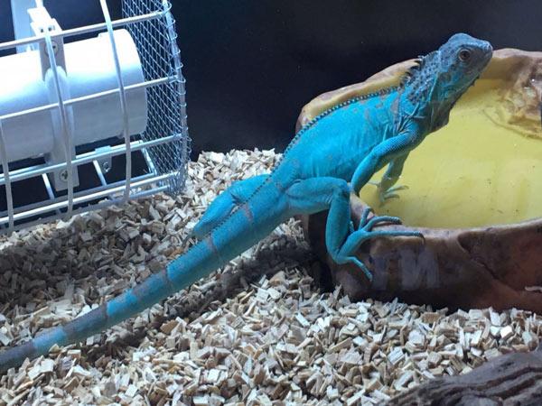 Rồng Nam Mỹ Blue Iguana