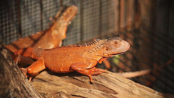 Khi mua Rồng Nam Mỹ Đỏ - Red Iguana bạn nên chú ý các điểm sau để chọn được con giống tốt nhất