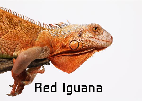 Hình ảnh chú Rồng Nam Mỹ Đỏ - Red Iguana trưởng thành