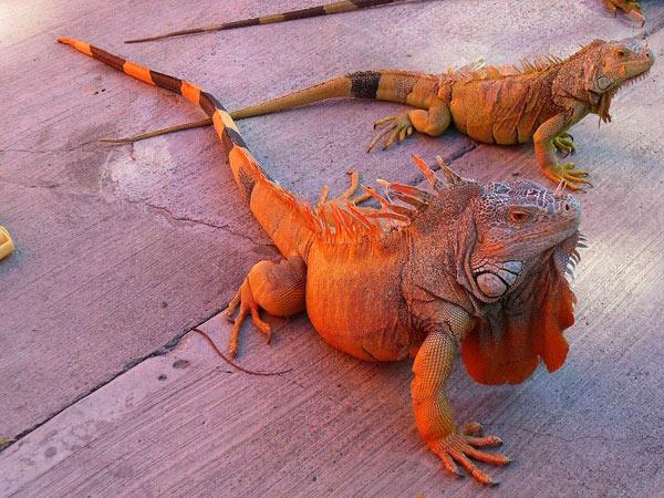Rồng Nam Mỹ đỏ - Red iguana