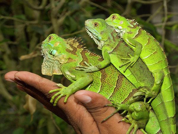 Hình ảnh Rồng Nam Mỹ ( Green Iguana ) xanh khi còn nhỏ cho đến lúc trường thành
