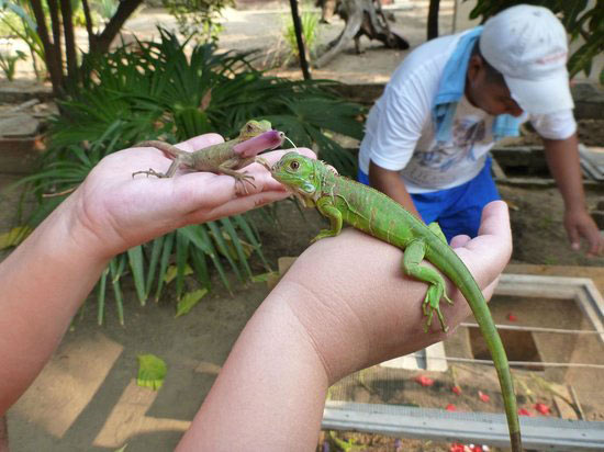 Hình ảnh chú Rồng Nam Mỹ Green Iguana baby giá 700k được bán ở Vietpetgarden.net