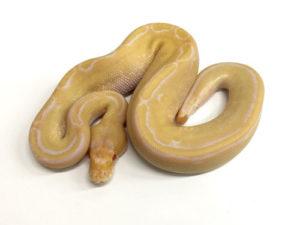 Albino Champagne Ball Python