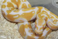 Baby Albino Ball Pythons