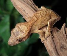 Brindle Crested Geckos