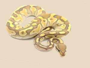 Butter Ghost Ball Python