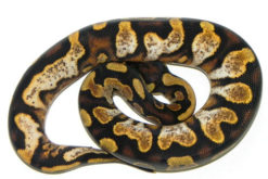 Calico Yellow Belly Ball Python