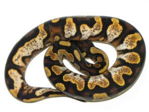 Calico Yellow Belly Ball Python