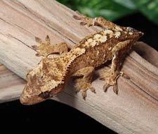 Cream Crested Geckos