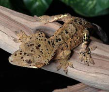 Dalmatian Crested Geckos
