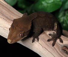 Dark Crested Geckos