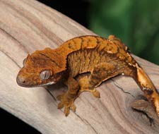 Flame Crested Geckos