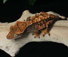 Harlequin Crested Geckos