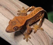 Pinstripe Crested Geckos