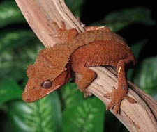 Red Crested Geckos