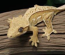Yellow Crested Geckos