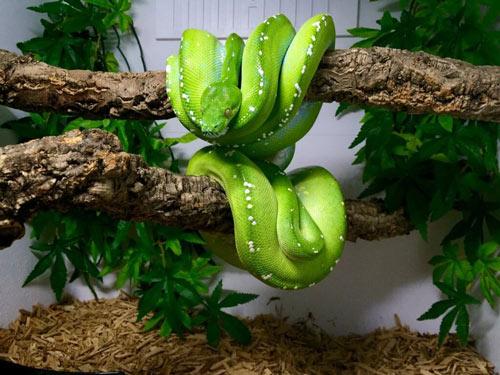 Chuồng nuôi trăn Green Tree Python nên có cây xanh, khúc gỗ đủ cứng ngang chuồng để trăn cuộn trên đó