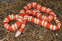 rắn sữa honduran