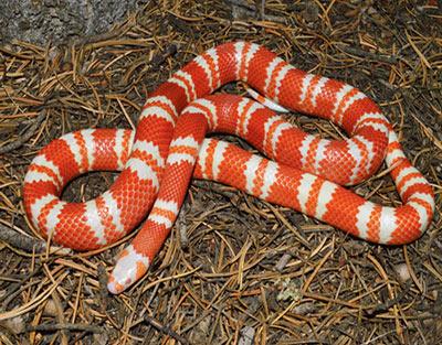 Hình ảnh rắn sữa Milk SnakeHonduran