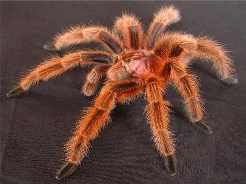 nhện G.rose Tarantula - Thú chơi độc, lạ của giới trẻ - Vietpetgarden