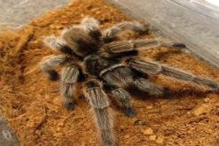 nhện G.rose Tarantula