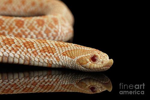 MỚI Tổng hợp các loại rắn cảnh không độc đẹp, giá rẻ, an toàn 21