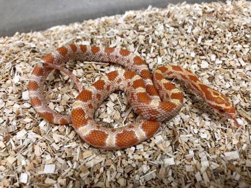 MỚI Tổng hợp các loại rắn cảnh không độc đẹp, giá rẻ, an toàn 22