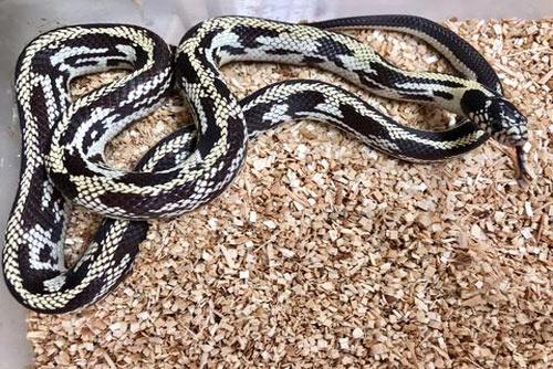 MỚI Tổng hợp các loại rắn cảnh không độc đẹp, giá rẻ, an toàn 25