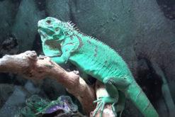 hình ảnh Blue Iguana