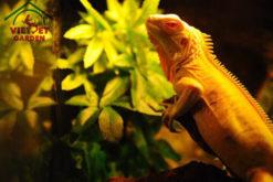 Rồng Nam Mỹ Vàng Albino Iguana