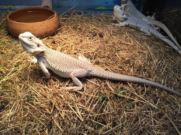 Hình ảnh một chú rồng úc giá 800k có màu sắc bình thường được bán tại Việt Pet Garden