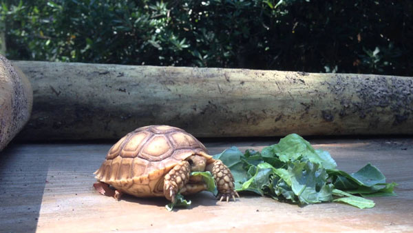 Rùa Châu Phi - Sulcata Tortois là loại động vật chỉ ăn thực vật