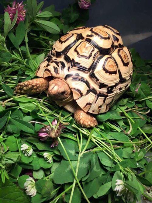 Rùa da báo chủ yếu ăn lá cây và các loại cỏ