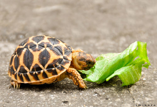 Rau xanh chính là nguồn thức ăn yêu thích của Rùa Sao Ấn Độ