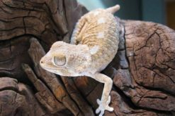 Tắc Kè Helmeted Gecko