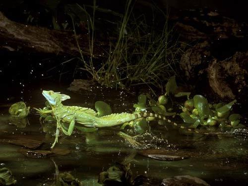 Thằn lằn Green Basilisk có thể di chuyển trên nước bằng 2 chân sau