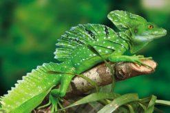 Green Basillisk
