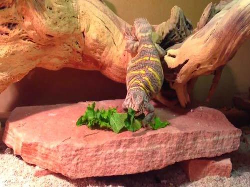 Thức ăn chính của thằn lằn đuôi gai là rau xanh và cỏ