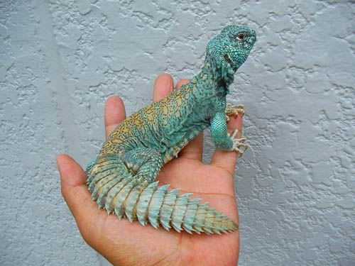 Thằn lằn đuôi gai Dabb Lizard & Uromastyx đến từ khu vực Xích Đạo