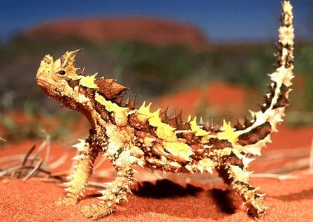 Thằn lằn Quỷ Gai rất dễ dàng nhận biết với một lớp gai trên toàn cơ thể