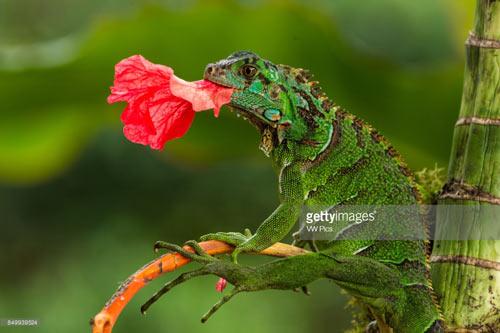 Hoa cũng là món ăn ưa thích của Rồng Nam Mỹ Iguana