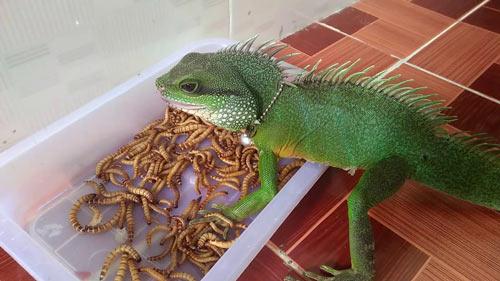 Thỉnh thoảng 1,2 tuần các bạn cũng nên cho Rồng ăn sâu, dế hoặc các loại côn trùng 1 lần