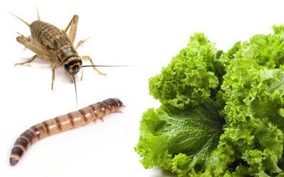 Côn trùng và rau xanh là thức ăn chủ yếu của rồng úc