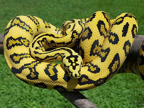 Trăn Carpet Python