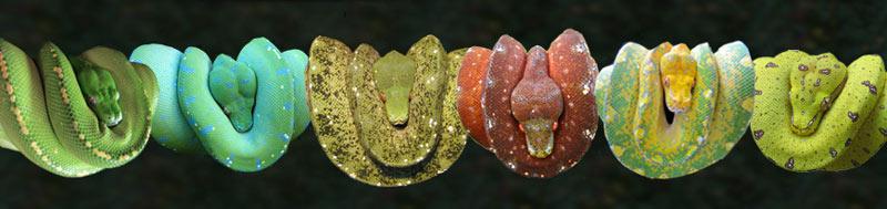 Hiện Vietpetgarden.net có bán trăn Green Tree Python đa dạng về màu sắc, kích thước, giới tính