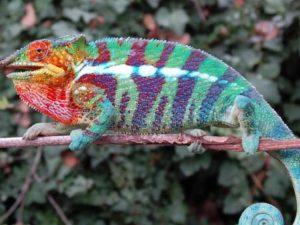 Ambanja Panther Chameleon