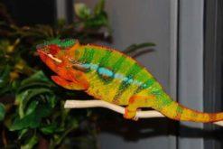 Ambodirafia Panther Chameleon