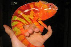 Andapa Panther Chameleon