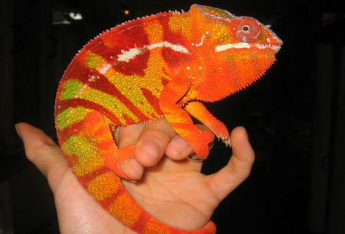Andapa Panther Chameleon